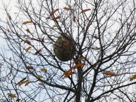 nid de frelons asiatiques